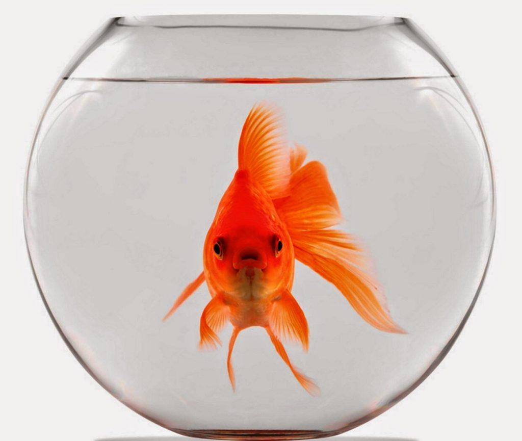 Pesciolino rosso acquario vasca acqua buongiorno africa for Boccia pesci